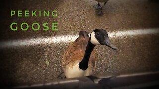 Peking Goose or Peeking Goose