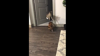 Ninja cat jumps over dog during their playtime