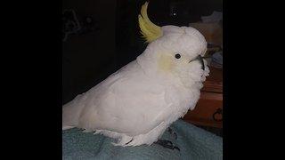 Smart cockatoo performs tricks for treats