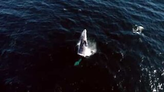 Fantastisk dronefilm av gråhvaler i California