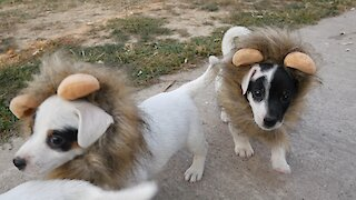 Jack Russell Terrier puppies dress up as lions for Halloween
