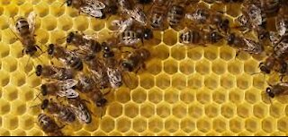 Watch bees collect nectar