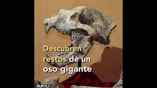 Descubren fósil de oso gigante   Sabías que...