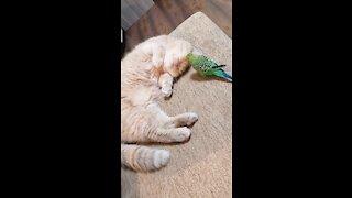 Super patient cat lets parrot annoy him during nap time