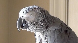 Talking parrot decides to count numbers in a totally random order