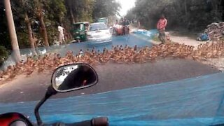 Hundrevis av ender skaper trafikkaos i Bangladesh