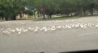 Flock of ibis mourn death of bird, circle fallen companion