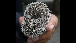 Cute Little Hedgehog!