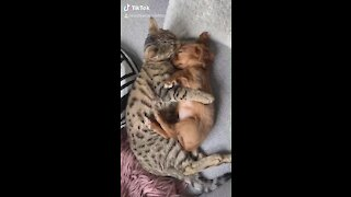 Cat preciously cuddles and grooms tiny puppy