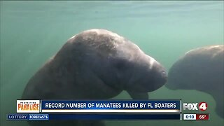 Record number of manatees killed by boats in Florida in 2019