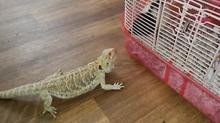 Bearded Dragon discovers pet rat, desperately tries to make contact
