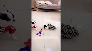 Funny dog falls after being shot, a comedy!