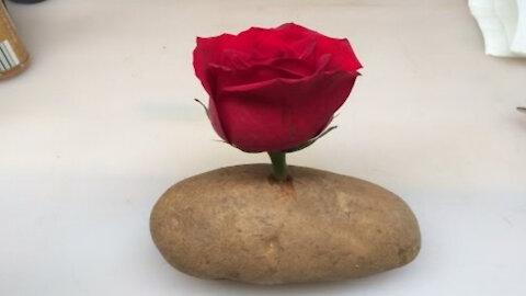 🌹Grow A Rose Cutting In A Potato!