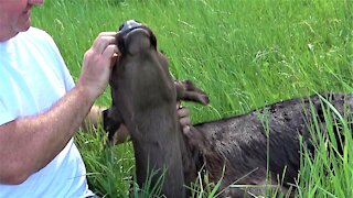 Newborn calf thoroughly enjoys being petted in the sunshine