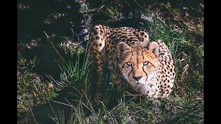 Cheetah attack on buffalo