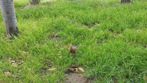 Dove Bird Scavenge for Food