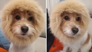 Jack Russell Terrier pulls off epic lion impersonation