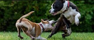 Watch the fight and play between dogs