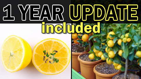 How To Grow Lemon Trees From Seed
