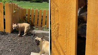 French Bulldog literally screams to get back inside yard