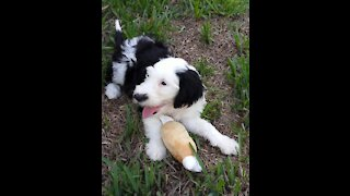 It's Luna the Sheepadoodle Time. She's 3 months old.