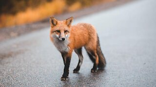 Wild fox unexpectedly comes when called by human