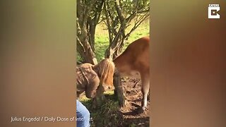 UDDERLY HELPLESS COW IS SAVED AFTER GETTING HEAD STUCK IN TREE