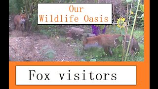 Fox visits at Our Wildlife Oasis - 31st August 2020