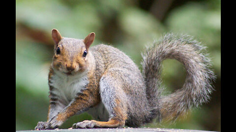 RED SQUIRREL VERSUS GREY SQUIRREL, WHO WINS A SPOT ON THE RAILING!