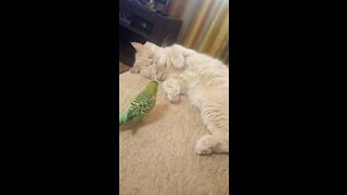 Patient cat tries to nap while parrot wants to have play time
