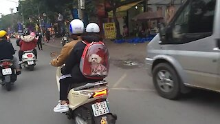 Super cute puppy spotted inside backpack on the streets of Hanoi
