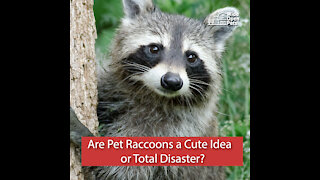 Are Pet Raccoons a Cute Idea or Total Disaster?