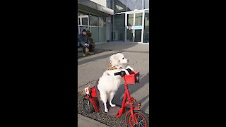 Talented dog drives scooter like a pro