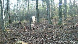 6 point buck strolls near