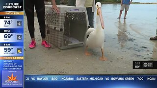 Pelicans reunited with colony in Fort DeSoto