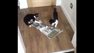 Crazy Kittens destroy full litter box & try to cover it up!