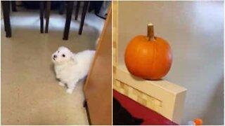 Este cão já cansou do Halloween!