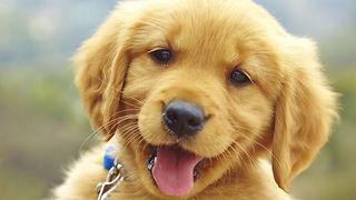Cute little puppy wants to fight a siberian husky