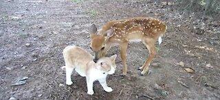 Baby Deer & Kitten become Friends!