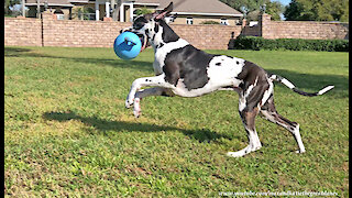 Happy Great Dane Loves To Bounce With His Jolly Ball