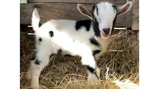 1 Week Old Baby Sheep Playing