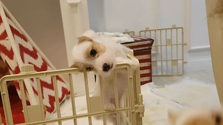 Adorable Jack Russell Puppy Makes An Epic Escape From Enclosure