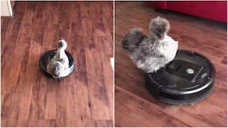 Kylling råkjører på en Roomba!
