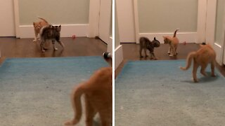 Foster kittens prance around like electrocuted crabs