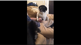 Needy dog demands attention from owner