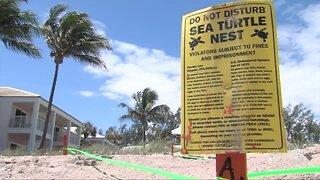 Loggerhead Marinelife Center seeing large number of sea turtle nests