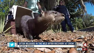 Otter who was rescued released back into wild