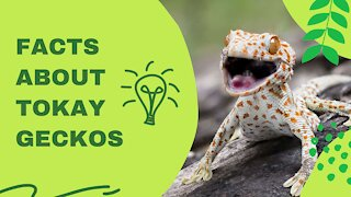 Fascinating facts about Tokay Geckos