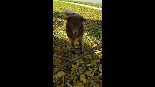 Crazy dog plays fetch with gigantic fetch