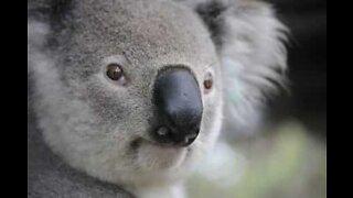 Koala stopper trafikken på en Australsk vei